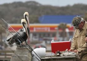 پلیکان ها در انتظار سهمی از تلاش ماهیگیر