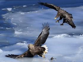جنگ عقاب های دم سفید