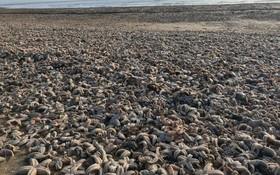 هزاران ستاره دریایی مرده در ساحلی در انگلیس