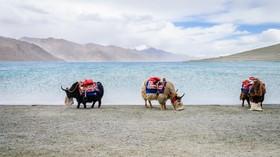 گاوهای سواری در دامنه های هیمالیا در هند