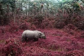 کرگدنی در پارک ملی چیتوان در نپال
