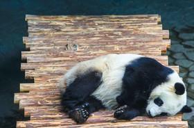 خرس پاندایی در باغ وحشی در چین