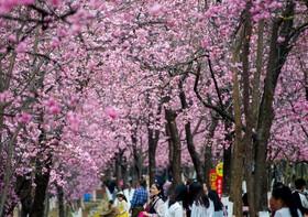 جهانگردان در حال دیدار از باغ گیلاس در پارکی در چین