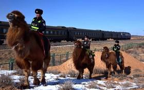 پلیس راه آهند در چین و شترهایی که با آن گشت می زنند
