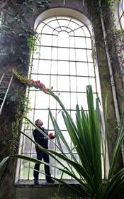 زنبقی با رشد عجیب در گلخانه سلطنتی در انگلیس