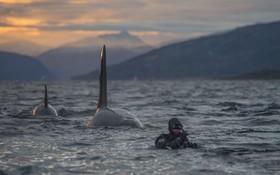 نهنگ های موسوم به قاتل در سواحل نروژ و شناگری در نزدیکی آن ها