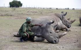 یک محافظ محیط زیست در کنیا در حال نگهداری از دو کرگدن مونث از جمله آخرین کرگدن های سفید از این نوع است