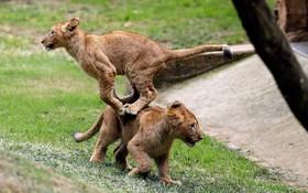 بازی بچه شیرها در پارک حیات وحشی در آفریقای جنوبی