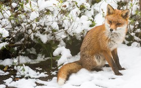 روباهی به دنبال غذا