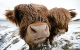 گاوهای موسوم به هایلند که در سرمای انگلیس پرورش داده می شود