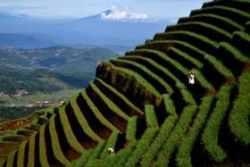 کشاورزی در جاوه شرقی اندونزی
