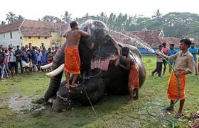 فیل بانان در حال شستشوی فیلی در هند