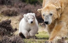 خرس قطبی و توله اش که به تازگی در باغ وحشی در انگلیس به دنیا آمده است