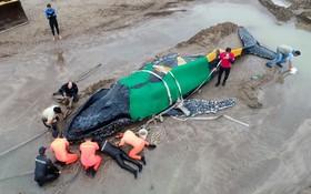 تلاش برای نجات یک نهنگ که به ساحل آمده در آرژانتین