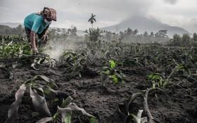 کشاورزی در نزدیکی کوه آتش فشان سینابانگ در اندونزی