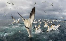 تصویری ازمرغ های ماهیخوار در حال شکار