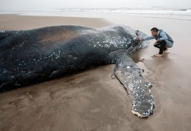 تلاش حامیان محیط زیست در آرژانتین برای بازگرداندن یک نهنگ شش تنی به دریا