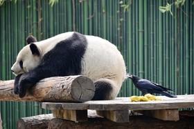 کلاغ در باغ وحشی در چین در جال کندن پشم خرس پاندا برای لانه سازی