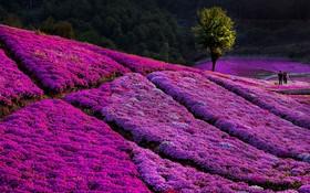 مزرعه گل شاهپسند در چین