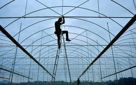بنای یک گلخانه در منطقه هوبی چین برای تولید گوجه فرنگی