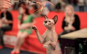 جشنواره ای برای انتخاب گربه برگزیده