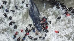 تلاش برای بازگرداندن یک نهنگ به دریا