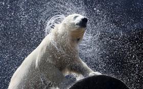 خرس قطبی در باغ وحشی در آلمان