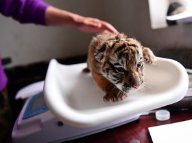 ببر سیبری متولد شده در باغ وحشی در چین