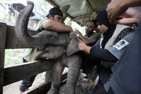 در مان یک توله فیل که در تله افتاده بوده و مادر ندارد