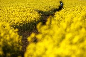مزرعه کلزا در آلمان