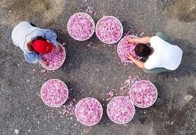 برداشت گل روز سرخ در چین