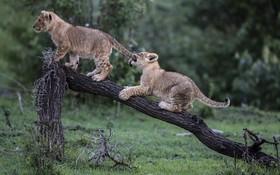 بچه شیرها در پارک وحشی ماسایی در کنیا