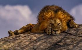 """شیر نر پارک ملی """"سرنگتی"""" در کشور آفریقایی تانزانیا"""