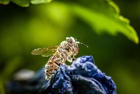 زنبورعسل آغشته به گرده گل/ فرانکفورت آلمان