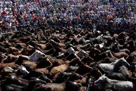 جشنواره سالانه اسبهای وحشی در اسپانیا