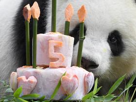 جشن تولد 5 سالگی پاندای باغ وحش برلین