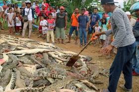 """نتقام سخت از تمساحها! وقتی یک مرد در """"سورونگ"""" اندونزی قربانی حمله یک تمساح شد، مردم برای انتقام صدها تمساح و کروکودیل را سلاخی کردند."""