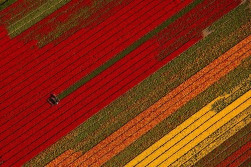 (تصاویر)درو گل لاله از مزرعهای در هلند،اردوگاه اسکان موقت آسیب دیدگان از سیل در شهر اوکایاما ژاپن، یک زمین کشاورزی (گلخانهای) در باریکه غزه و ... در عکسهای خبری روز