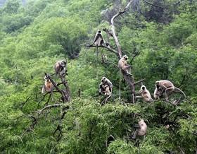 گروهی از میمون های لانگور در جنگلهای پوشکر، هند
