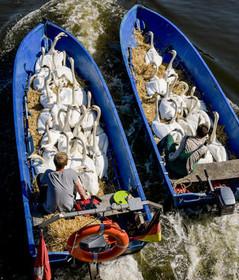 جمعآوری قوهای دریاچهای در هامبورگ آلمان از بیم گرمازدگی