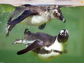 دو پنگوئن در باغ وحش فرانکفورت آلمان
