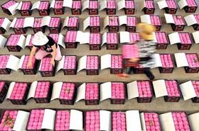 کشاورزان چینی در حال بستهبندی محصول میوه در استان شاندونگ
