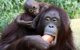 اورانگوتان و نوزاد پنج ماهه در حال خوردن هدیه یخی در باغ وحشی در آلمان