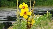 خواص گل ماهور /خواص گل ماهور برای بیماری های تنفسی/ عوارض گل ماهور