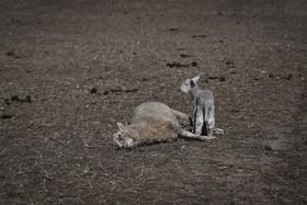 بره ای در کنار جسد مادرش در جریان خشکسالی در نیو ساوت ولز در استرالیا