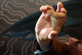 نمایش دندان کوسه ای باستانی در موزه ملبورن استرالیا که دو برابر دندان یک کوسه سفید کنونی است