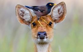 مرغ مینا روی سر گوزن