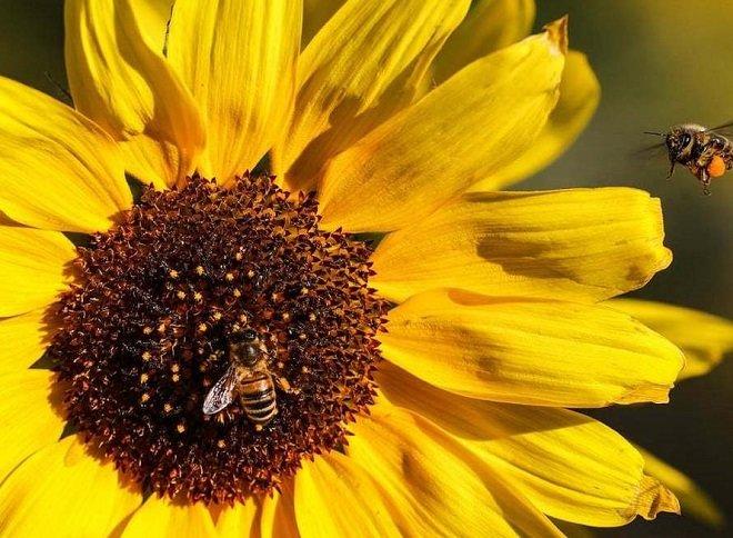 زنبورهای عسل روی گل آفتابگردان؛ آلمان