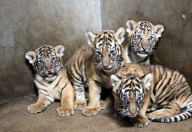 مسابقه نامگذاری تولههای ببر در باغوحش شانگهای