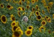 (تصاویر)مزرعه گل آفتابگردان در ایالت کانزاس آمریکا ، جشنواره بادبادک در سواحل جنوب فرانسه ، پناهجویان سوری در بیروت در حال بازگشت به سوریه و ... در عکسهای خبری روز